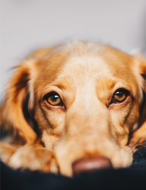 Amaroo_dog